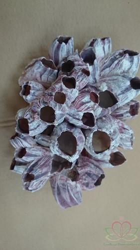 Barnacle zeepok groot 20 cm. per stuk