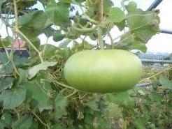 Bowl Gourd - basiseenheid Bowl Gourd