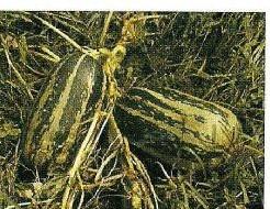 Citrouille de touraine Citrouille de touraine