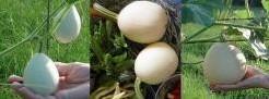Cucurbita pepo Pears & Eggs