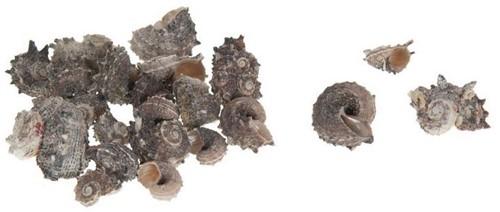 Delphinula Laciniata schelpen
