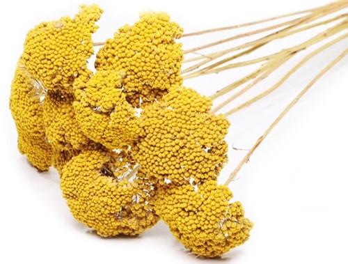 Achillea parker SB natural yellow  droogbloemen