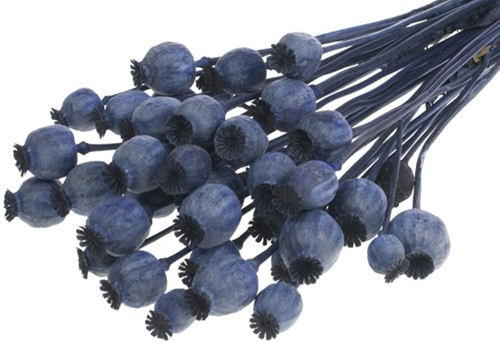 Papaver dark blue SB Papaver donkerblauw