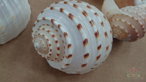 White Patram Giant schelpen +/- 7 stuks
