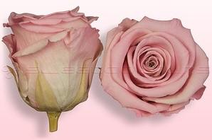 Geconserveerde rozen Lichtroze-Wit M DOOS12 Geconserveerd