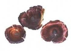 Golden Mushroom 10 st Golden Mushroom-2