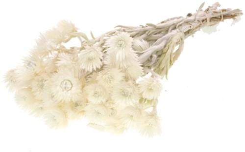 Helichrysum Vestitum White Wit natural bundel. droogbloemen