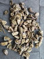 Oesterschelpen geboord fijn, 250 gram