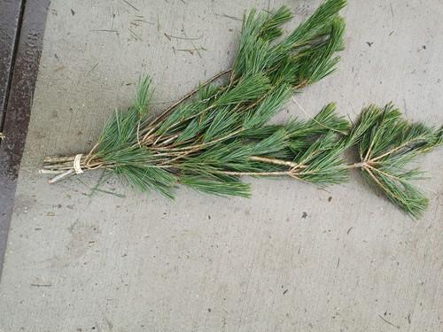 Bundel Dennengroen Pinus   Mooie dennengroen
