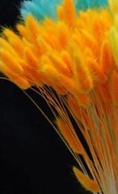 Lagurus Ovatus bundel +/- 30st FelOranje Pluimgras graspluimen