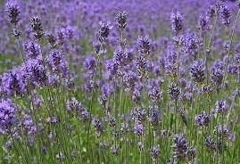 Lavendel - geurolie voor Melts en Kaarsen en Zeep 10ml Geurolie