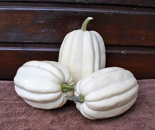 Mashed Potato F1 Acorn mooie lange witte Acorn