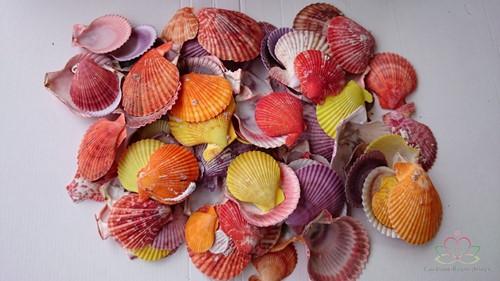 WK schelp PECTEN CHLAMYS NOBILIS COLOURED kleinverpakking gekleurd, 100 gram