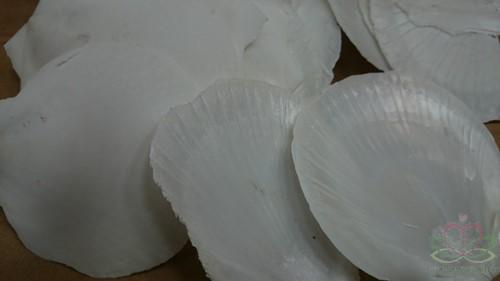 Amusium Japonicum Wit parelmoer / kg Amusium Japonicum / kg