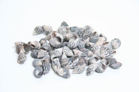 Nassa Pussata schelpen 500 gram