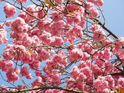 Oosterse Cherry Blossom- geurolie voor Melts en Kaarsen 10ml Geurolie
