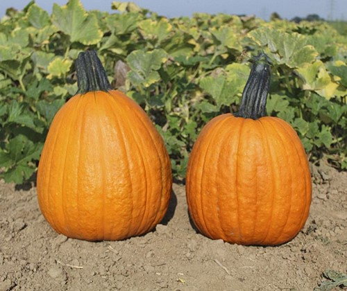 Phat jack Halloween - basiseenheid Phat jack