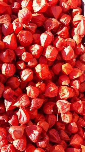 Physalis rood 5 stuks. / lampionnetjes Physalis rood 5 stuks. / lamp