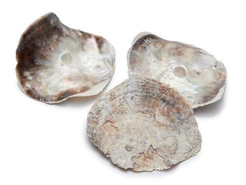 Placuna XL schelp 15cm per 10 stuks
