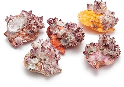 Pecten Nobilis pair + barnacle Schelp 12 stuks