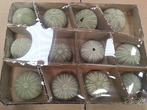 Zeeegel Zee-egel groen, 12 stuks